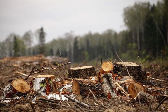 Варварская вырубка лесов